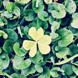 clovers hearts lightgreen nature grass freetoedit
