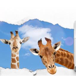 irccloud cloud freetoedit jiraffe giraffa