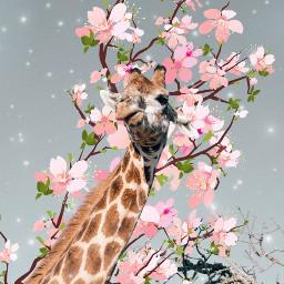 giraffe freetoedit cherryblossom tree animals