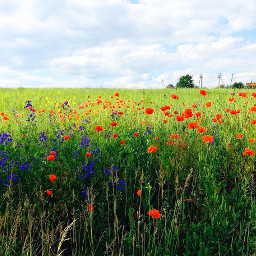freetoedit photography nature field poppies