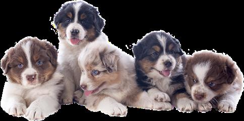 dog pups puppy puppies aussie freetoedit