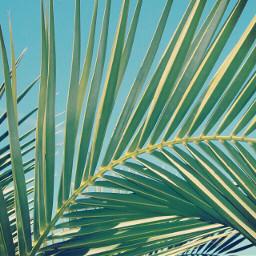 freetoedit nature palmtreeleaves blueskys sunnyday