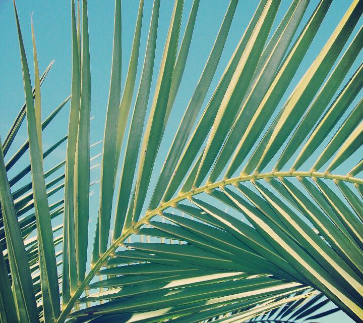 Happy Friday ☀️  #freetoedit #nature #palmtreeleaves #blueskys #sunnyday #summermorningsnapshot #naturephotography