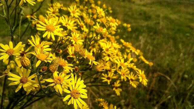 #nature #yellow #macro #flower #flowers #grass