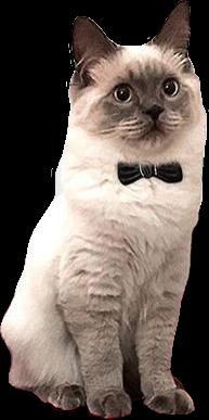 cat gentlecat bowtie cute animal