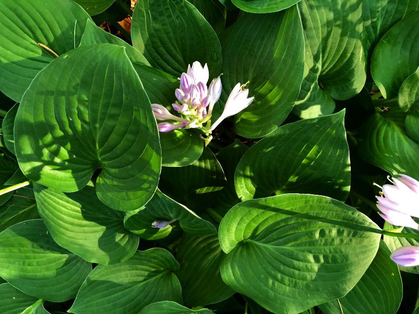 #freetoedit #floralcanvas #floralbackground #floralpattern #nature #sunlight #shadows #green #leaves #blooming #summer