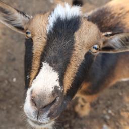 freetoedit goat photo depopapp depop