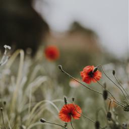 freetoedit poppies wildflowers background flowers