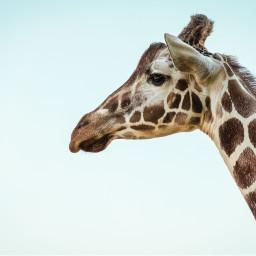 freetoedit giraffe animal cute nature