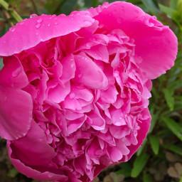 pcdrops drops freetoedit peony peonyflower