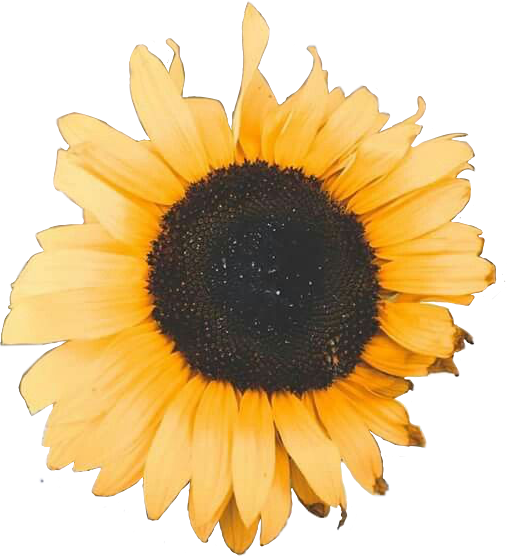 Girasol Cute Flor Flores Amarillo Cute Tumblr Freetoed