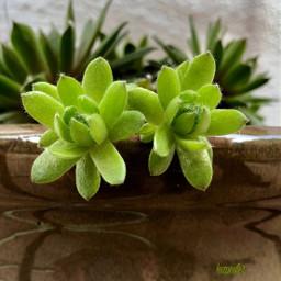 succulents green flowerpots gardening beautyinnature