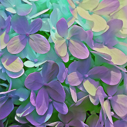 hydrangea magiceffects colorbrighteffect colors hues