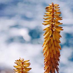 summertime nature cactusflowers seaview bluredbackground freetoedit