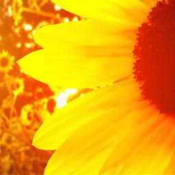 sunny yellow_flower bright summer freetoedit
