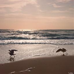 pcworldphotoday worldphotoday freetoedit sunriseonthebeach seagulls