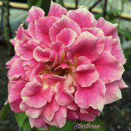 flower myphotography beautifulrose pink petals