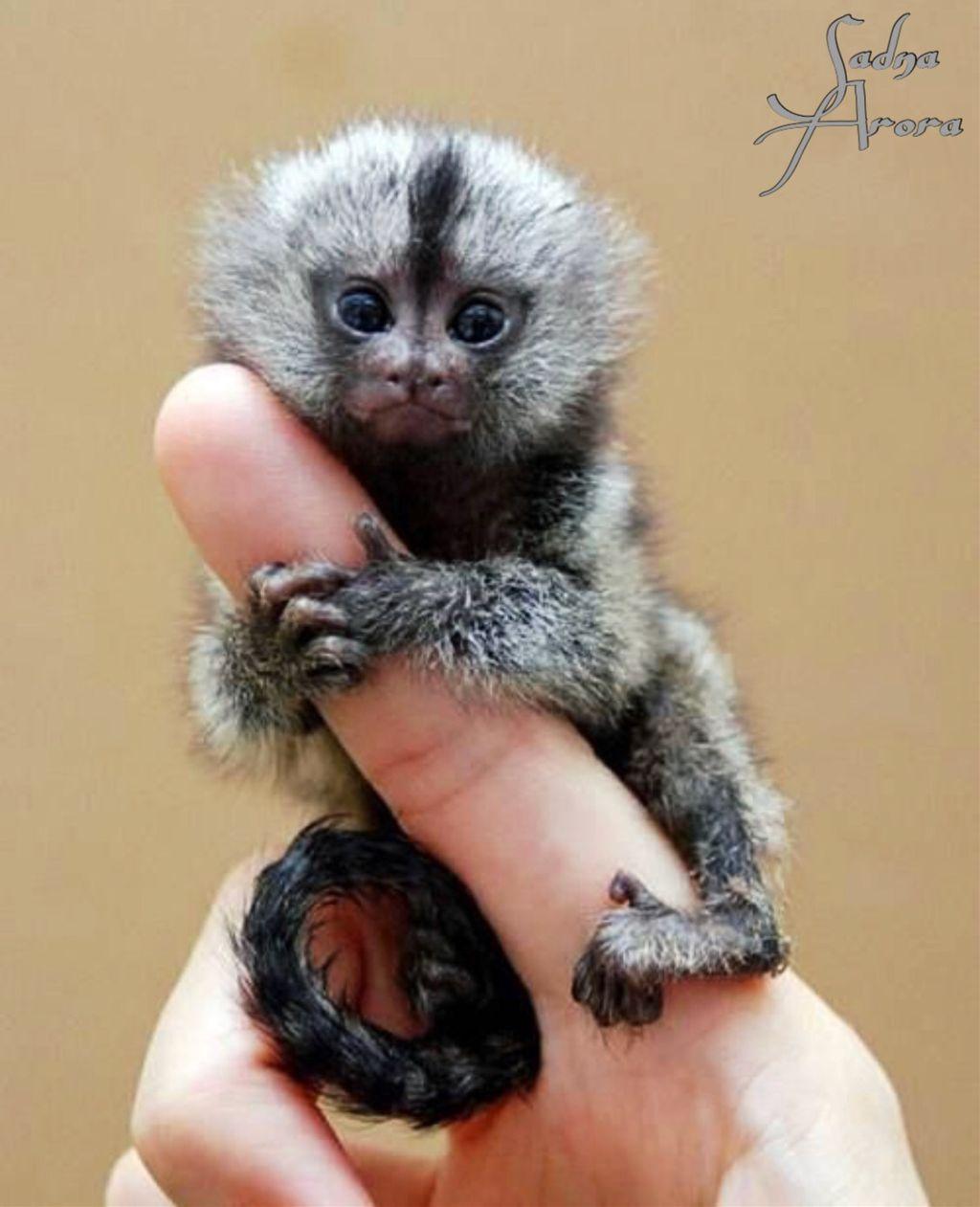 mini #monkey @sadna2018 #animals