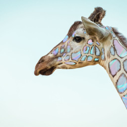 wildlife giraffe nature freetoedit