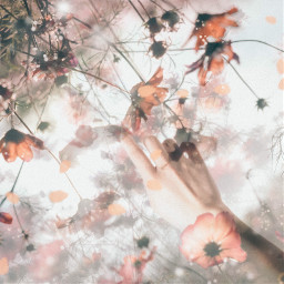 flower hand filmlike photoshop cosmos