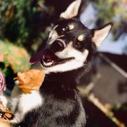 husky fallvibes huskyphotography heterochromia freetoedit