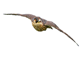 hawk eagle bird raptor falcon