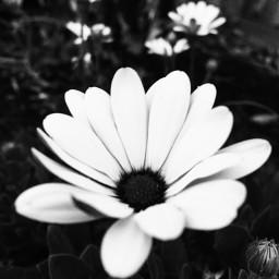 photography flowerpower blackandwhite