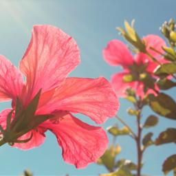 nature flowers hibiscus brightsunnyday bluesky freetoedit