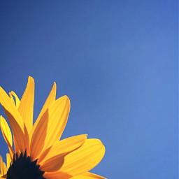 freetoedit yellowflower yellow nature flower
