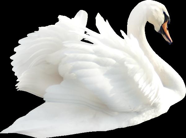 #ftestickers#swan