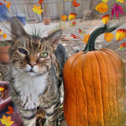 welcomeoctober catsofpicsart tabby sweetestcat pumpkin