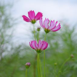 freetoedit cosmos japan nature photography