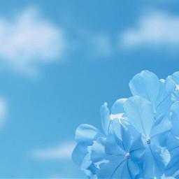 nature blueish flowers bluehydrangea skyandcloudsbackground freetoedit