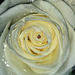 freetoedit rose whiterose