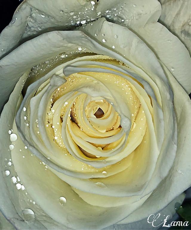 #freetoedit #rose #whiterose