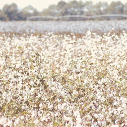 cottonfield nostalgic