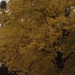 freetoedit tree yellow beauty autumn