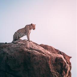 cat wildlife hill leopard leopards freetoedit