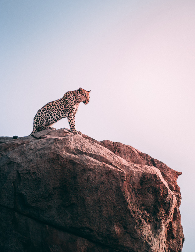 Awesome is a state of mind Unsplash (Public Domain) #cat #wildlife #hill #leopard #leopards #freetoedit