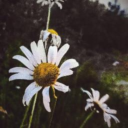 freetoedit flowers daisy daisies nature