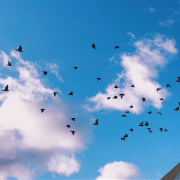 freetoedit flockofbirds sky silhouette