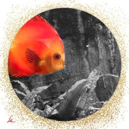 pccolororange colororange orange koi fish