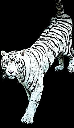 whitetiger tiger tiger🐯 tigerface freetoedit