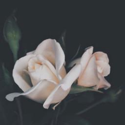 nature flowers roses naturesbeauty whiteroses freetoedit
