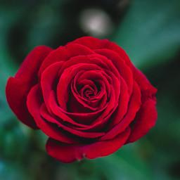 flower flowers rose roses nature freetoedit