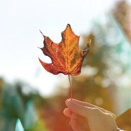ircautumnleaf autumnleaf freetoedit