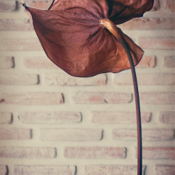 flowers anthurium driedflower brickwallbackground keepitsimple