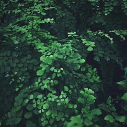 freetoedit nature intothewoods beautifulgreenery ferns