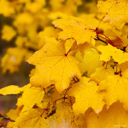 happythanksgiving leaves yellow pcleaves
