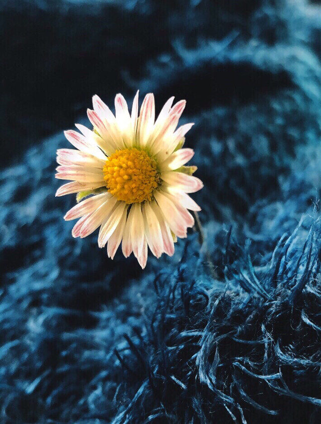 #freetoedit #daisy #flower #interesting #photography #littleflower